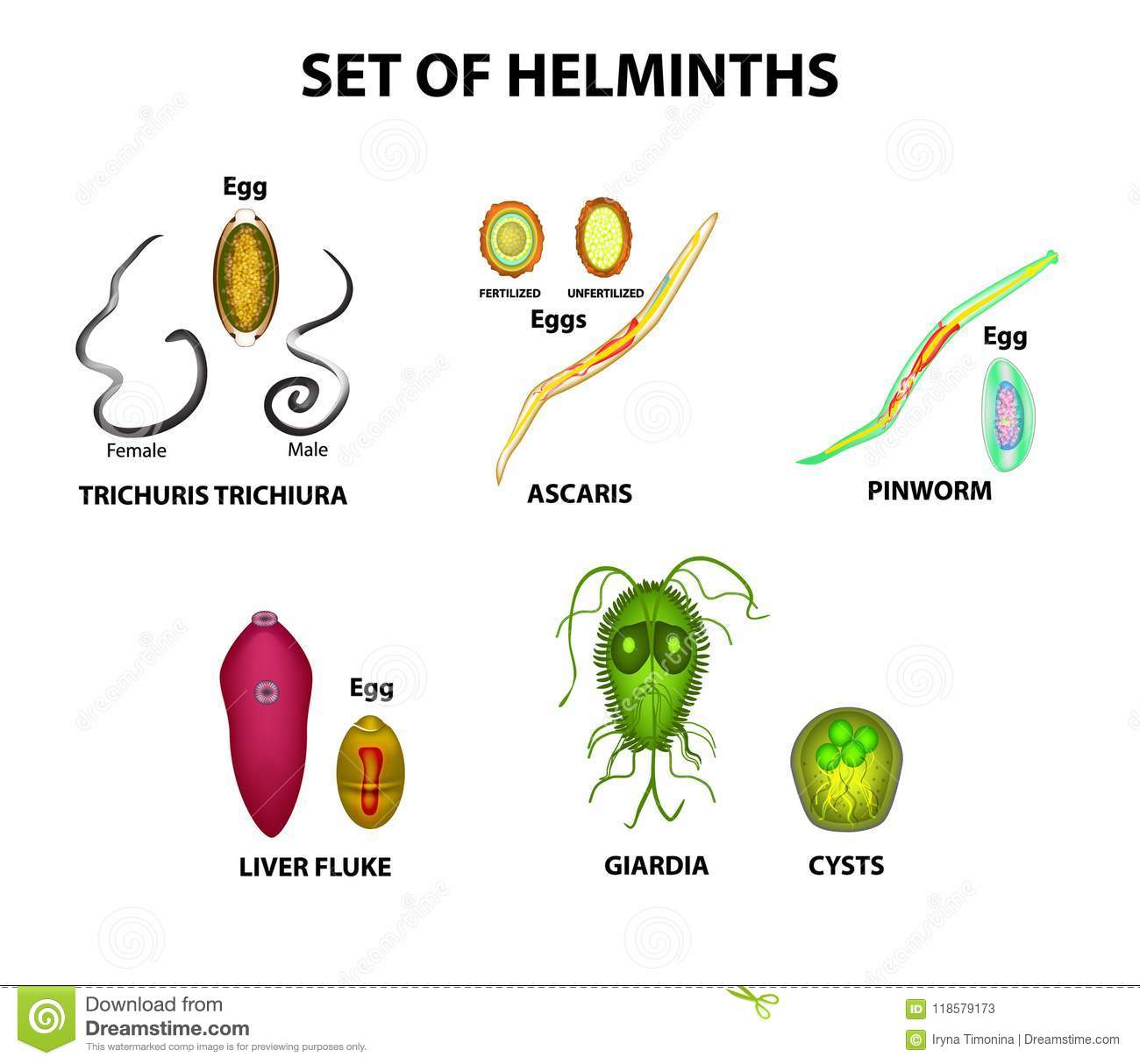 HELMINTHS > 02.Ascaris whipworm and pinworm