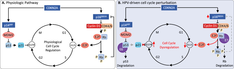 hpv cancer mechanism