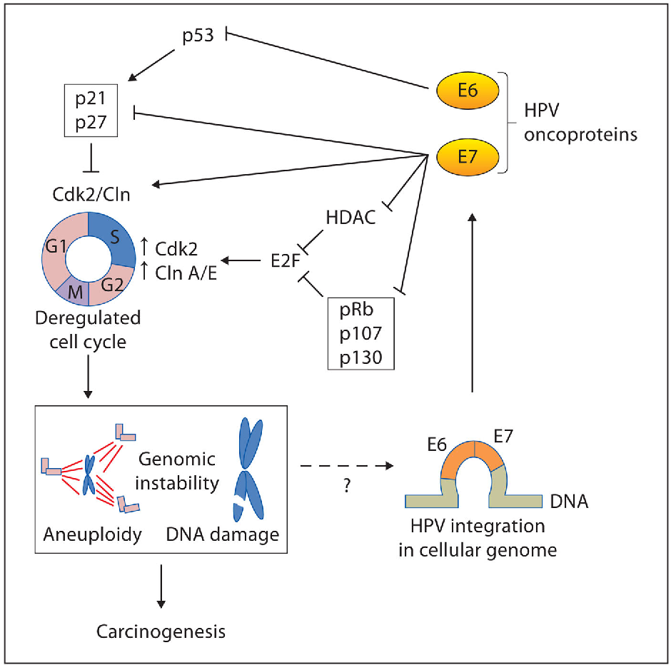 Hpv cervical cancer mechanism