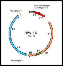 hpv high risk dna type 16)