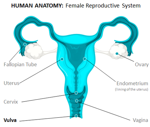 Human papillomavirus infection can lead to the development of ovarian cancer