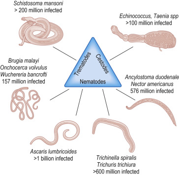 Helminth infections immunity Translation of