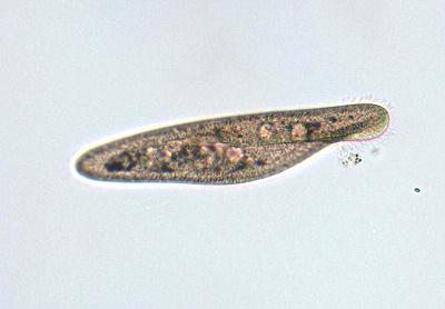 nutriția platyhelminthes