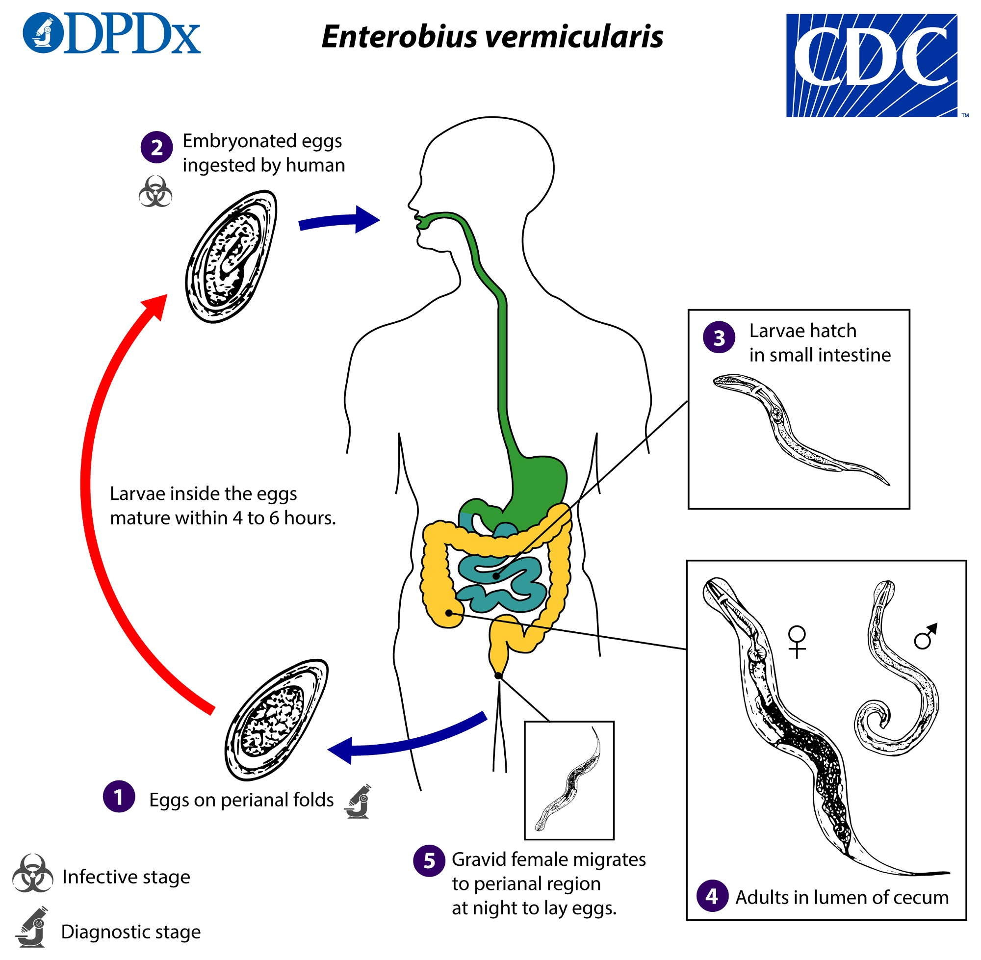 enterobius vermicularis cdc)