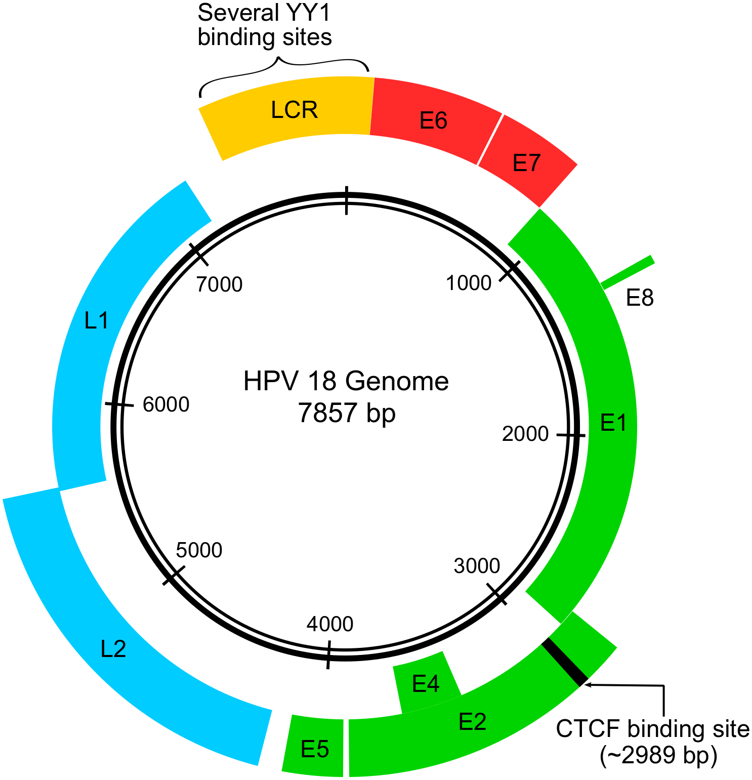 Papillomavirus genome structure expression and post-transcriptional regulation