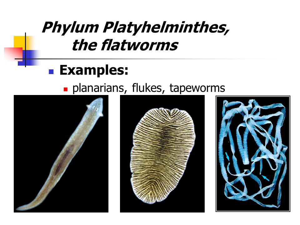 phylum platyhelminthes ppt