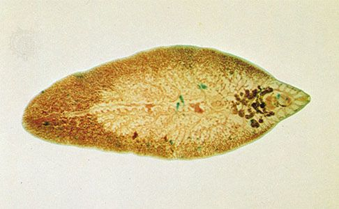 platyhelminthes opisthaptor
