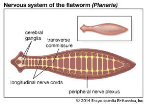 phylum platyhelminthes tip coelom