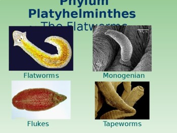 phylum platyhelminthes ppt warts on hands duct tape