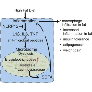dysbiosis weight gain