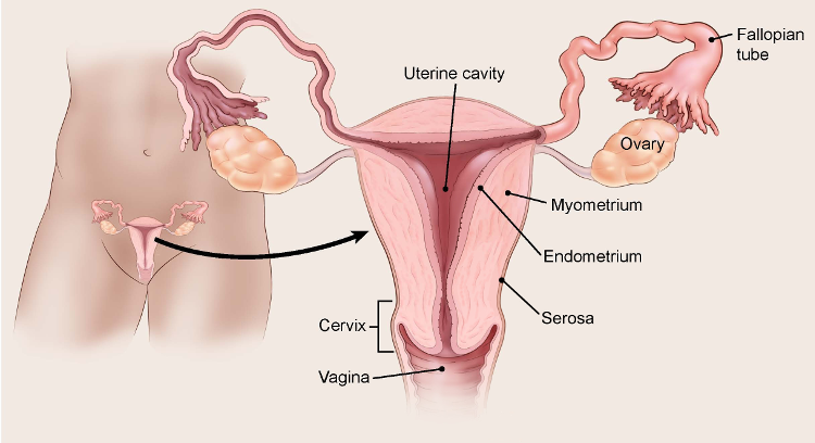 endometrial cancer lining thickness