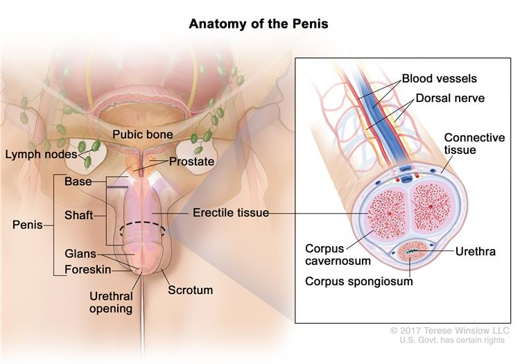 Hpv penile cancer