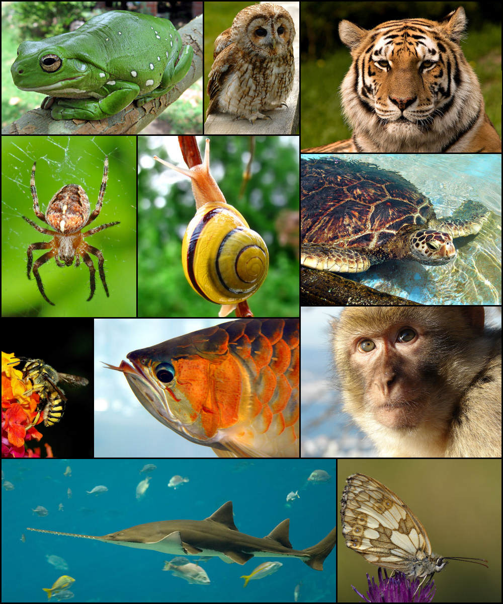 Animalia (classifications) - Wikispecies