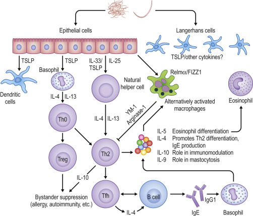 Helminth infection immune response - Translation of