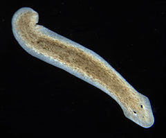 clase platyhelminthes