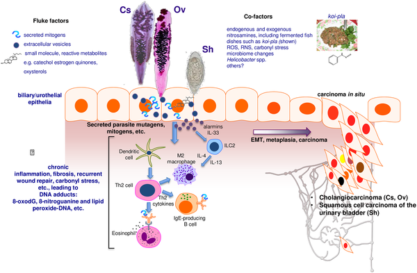 helminths chronic infection